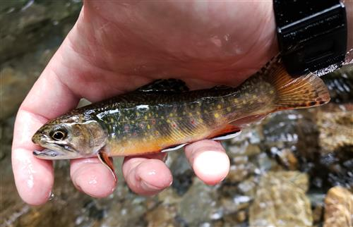 Native Southern Appalachian Brook Trout